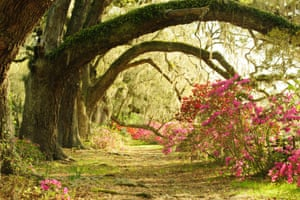 Live Oak trees arch over an avenue of azaleas in Magnolia Gardens, Charleston.