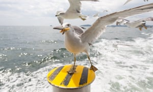 A gull eating a chip.