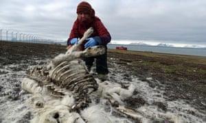 Ecologist Ashild Onvik Pedersen examines a reindeer cadaver in the Arctic archipelago Svalbard.