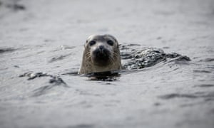 A seal off the isle of Canna.