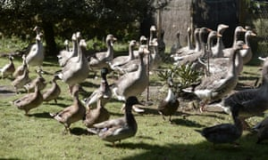 Dominique Douthe owns around 50 ducks and geese in the Landes region of France, famous for producing foie gras.